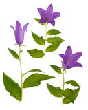 Bellflowers isolated on white Royalty Free Stock Photos