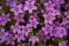 Bellflowers, Marimutra, Catalonia, Spain Royalty Free Stock Photos