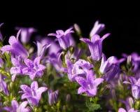 Bellflowers na czerń Fotografia Royalty Free