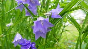Bellflowers na regen Stock Foto