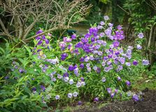 Bellflowers nel giardino Fotografia Stock Libera da Diritti