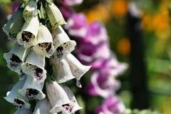 Bellflowers no jardim Foto de Stock