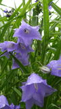 Bellflowers after rain Stock Image