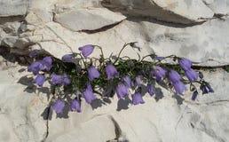 Bellflowers on the rocks. Flowering alpine Bellflower (Campanula Scheuchzeri) on white rocks Stock Images
