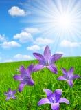Bellflowers on spring meadow Stock Photos