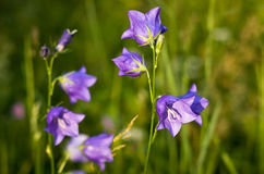 Bellflowers at sunset. Royalty Free Stock Photography