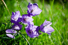 Bellflowers Royalty Free Stock Images