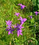 Bellflowers w trawie Obrazy Stock