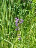Bellflowers w trawie Zdjęcia Royalty Free