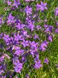 Bellflowers w trawie Fotografia Stock