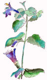 Bellflowers  watercolor Royalty Free Stock Images