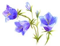 Bellflowers, watercolor Campanula Royalty Free Stock Image