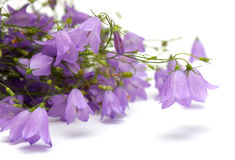 Bellflowers Stock Photography