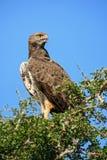 Bellicosus marcial de Eagle - de Polemaetus Imagenes de archivo