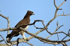 Bellicosus Polemaetus (военный орел) стоковое изображение rf