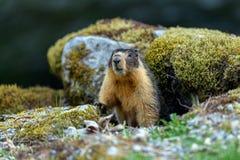 Bellied ?wistaka Marmota flaviventris, tak?e zna? Rzucaj?, patrzej?cy z wej?cia sw?j nora gdy Rockowy zdjęcia royalty free