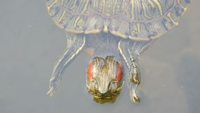 Bellied żółwia pływanie w stawie z innymi żółwiami zamyka w górę widoku zbiory wideo