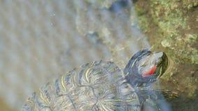 Bellied żółwia pływanie w stawie z innymi żółwiami zamyka w górę widoku zdjęcie wideo