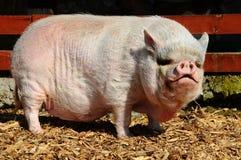 bellied бак свиньи Стоковое Изображение RF
