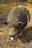 bellied бак свиньи Стоковые Изображения RF