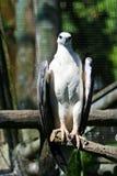 bellied белизна моря орла Стоковые Фото