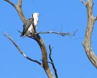 Bellied белизной орел моря стоковое фото rf
