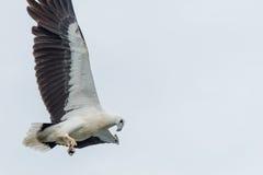 bellied белизна моря орла Стоковое фото RF