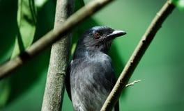 Bellied белизной птица drongo Стоковые Изображения