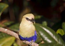 bellied голубой ролик окуня Стоковое Изображение RF