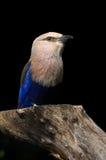 bellied голубой ролик Стоковые Изображения
