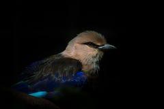 bellied голубой ролик Стоковое Изображение RF