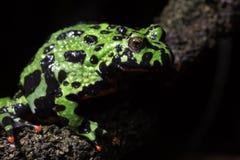 bellied жаба пожара Стоковые Изображения RF