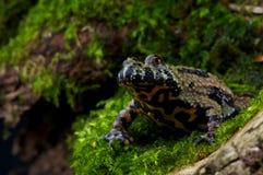 bellied жаба пожара Стоковые Изображения