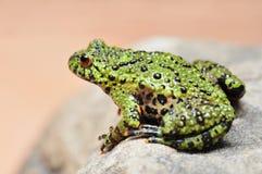 bellied жаба пожара Стоковое Фото