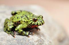 bellied жаба пожара Стоковое Изображение RF