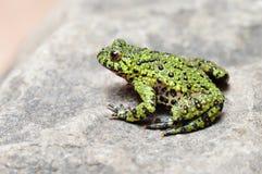 bellied жаба пожара Стоковое фото RF