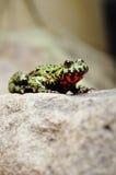 bellied жаба пожара Стоковые Фотографии RF