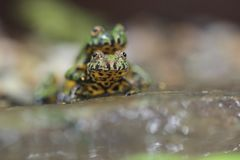bellied жаба oriental пожара Стоковое фото RF