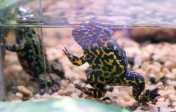 bellied жаба oriental пожара Стоковая Фотография