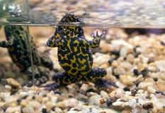 bellied жаба oriental пожара Стоковая Фотография RF