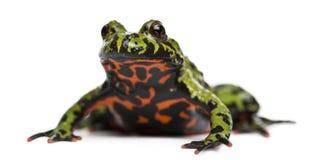 bellied жаба orientalis пожара bombina востоковедная Стоковая Фотография RF