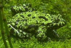bellied жабы orientali пожара discoglossidae bombina chineese Стоковые Фото