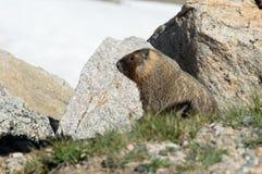 bellied желтый цвет marmot стоковое изображение rf
