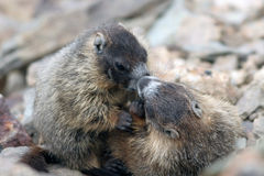 bellied желтый цвет marmota marmot flaviventris Стоковые Фотографии RF