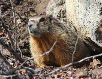 bellied желтый цвет rockchuck marmot Стоковая Фотография