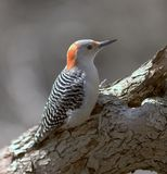 bellied женский красный woodpecker стоковое фото rf