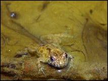 bellied желтый цвет жабы Стоковая Фотография