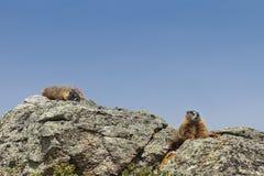 bellied желтый цвет marmot Стоковое Изображение