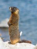 bellied желтый цвет marmot Стоковые Изображения