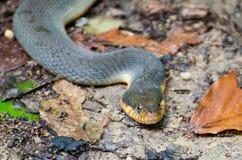 Bellied желтым цветом змейка воды Стоковые Изображения RF